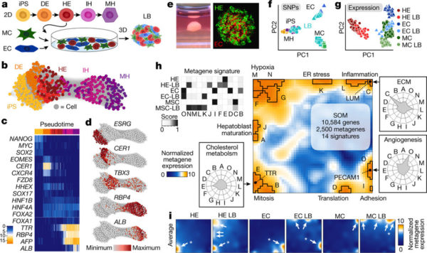 La comunicazione molecolare dirige la formazione degli organi: uno studio sul fegato!