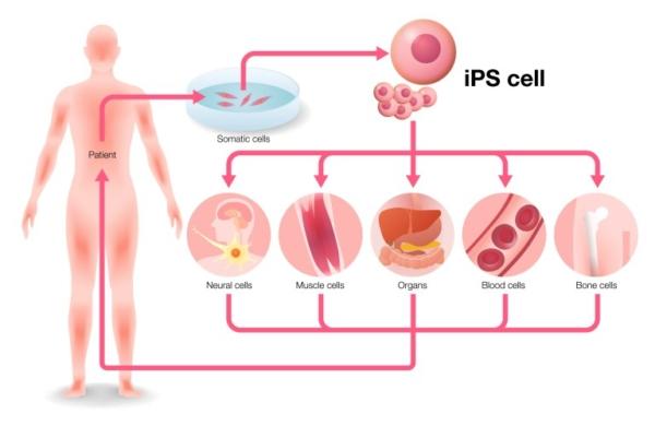 Le iPS (cellule retro-indotte) in primo piano!